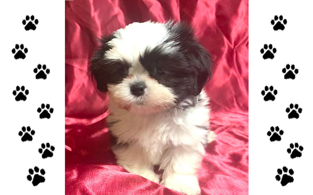 Male Shih Tzu – Cupid