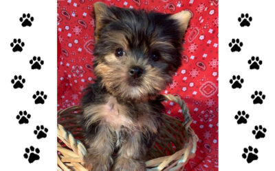 Yorkie Male – Born April 14, 2019