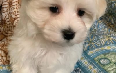 ADOPTED – Maltese Mix Male – Born February 23, 2019