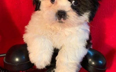 ADOPTED – Shih Tzu Female – Born February 5, 2019